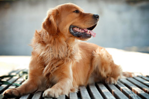 cane Golden Retriever