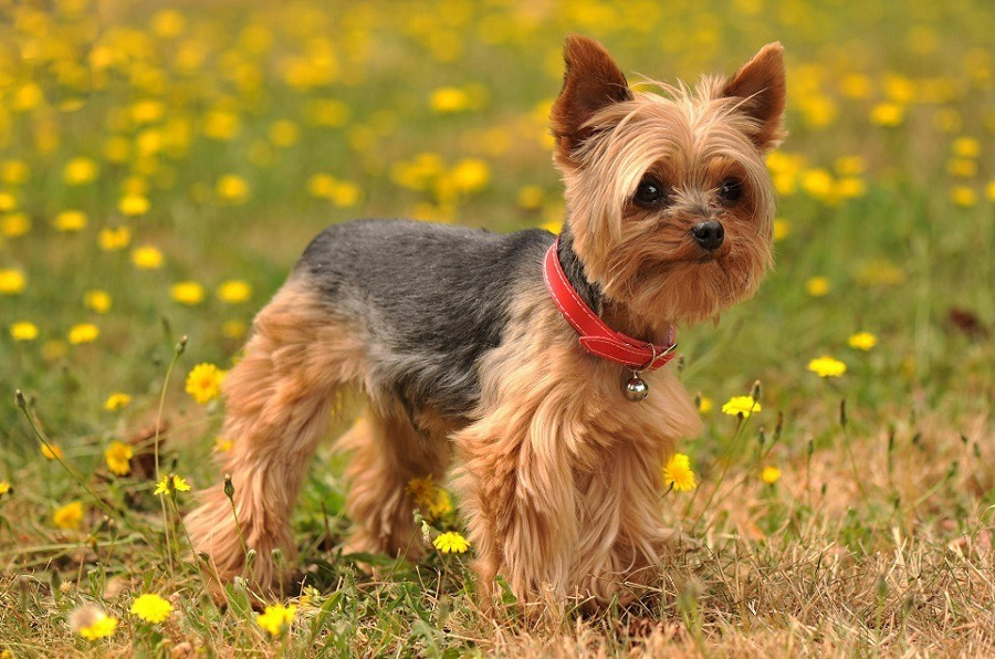 Cane Yorkshire Terrier